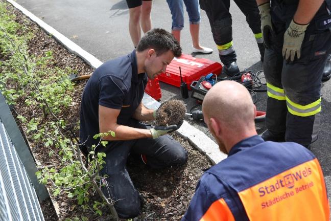 Feuerwehr stemmt auf Parkplatz in Wels-Neustadt in Rohr eingeklemmten Igel frei | Foto: laumat.at/Matthias Lauber