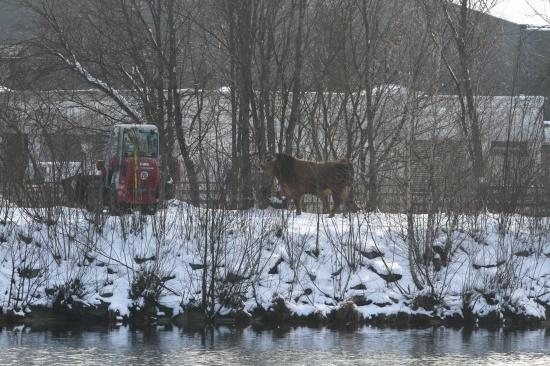 Polizei musste in Thalheim bei Wels entlaufenen Stier einfangen